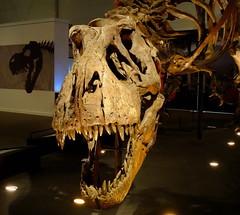 "Hello everyone, my name is Trix ❤ (LadyRaptor) Tags: ""t rex town"" kelvin hall glasgow scotland exhibit exhibition display european tour naturalis biodiversity center palaeontology cretaceous bone bones skeleton remains skull posed specimen fossil fossils excavation hell creek formation montana extinct animal vertebrate bipedal predator carnivore archosaur dinosaur dinosaurs theropod tyrannosaurid tyrannosauridae robust rex"" tyrannosaurus trix"
