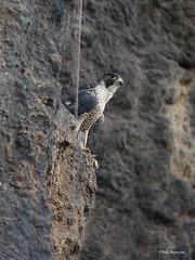 Peregrine Falcon Falco peregrinus minor (nik.borrow) Tags: bird falcon murchison