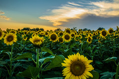 Sunflower field (noe.giovanni) Tags: sunflower flower flowers blossom nature natural beautiful botanic botanical