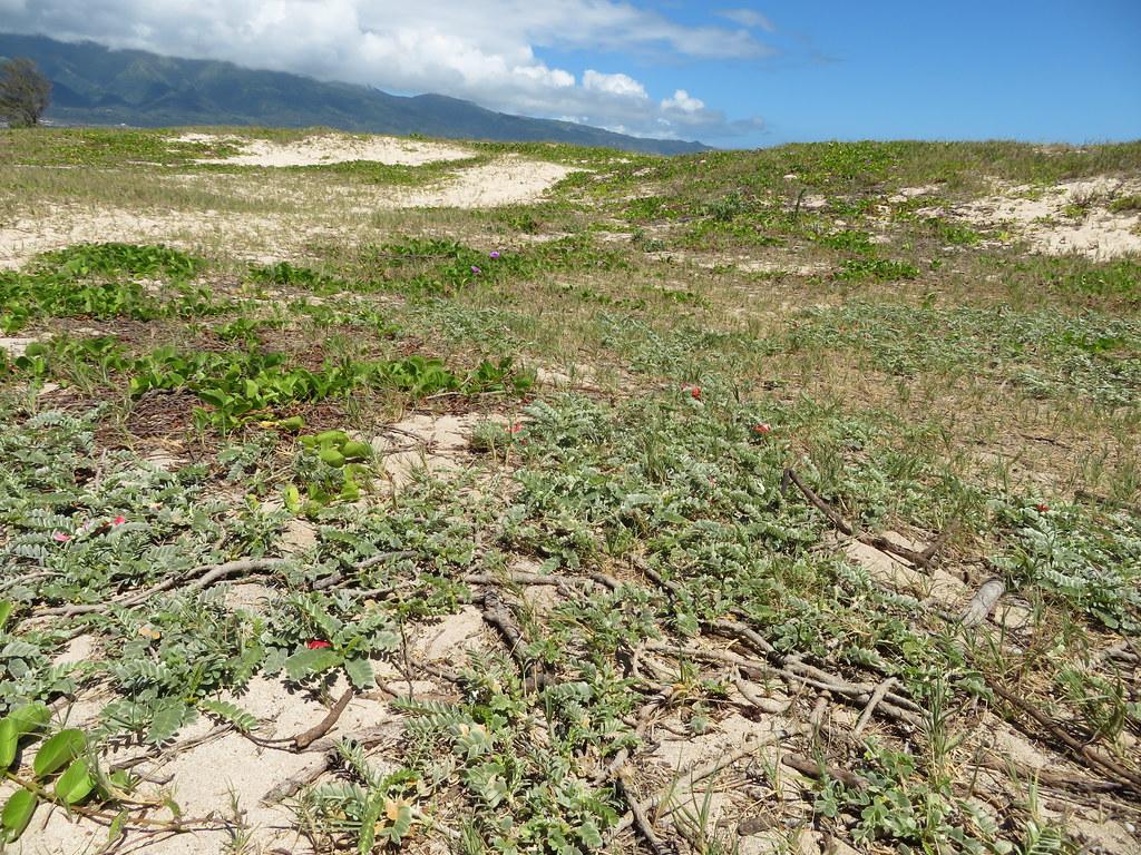 starr-190702-6704-Sesbania_tomentosa-patch_along_coast_outplanting-Kanaha_Beach-Maui