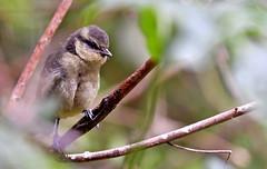 Is it safe to come out...? (Ian A Photography) Tags: birds bluetit britishbirds birdwatch fledgling gardenbirds juvenilebirds nature nikon ukbirds ukwildlife wildlife goldwildlife