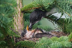Eastern Kingbird Nest (Daniel Cadieux) Tags: kingbird easternkingbird nest nestlings feed feeding hungry food family young forest ottawa evergreen brood siblings