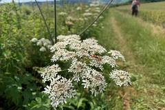 29 cow parsley & beetles (Margaret Stranks) Tags: winchcombearea gloucestershire