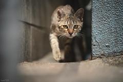 猫 (fumi*23) Tags: ilce7rm3 sony street sel85f18 fe85mmf18 a7r3 animal alley katze cat gato neko 85mm ねこ 猫 ソニー 路地 街 emount