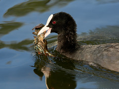 (macg33zr) Tags: places aylesbury watermead crayfish animal bird coot