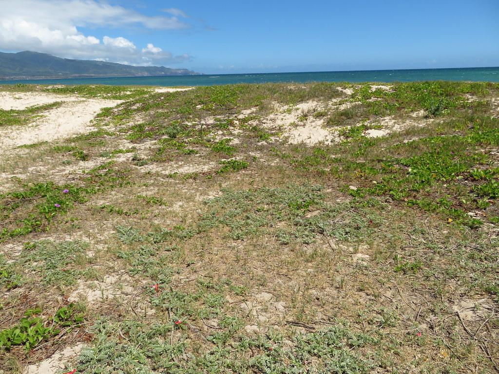 starr-190702-6705-Sesbania_tomentosa-patch_along_coast_outplanting-Kanaha_Beach-Maui