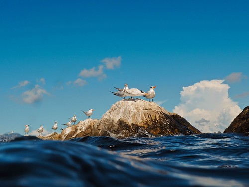 Periscope UP: Royal Terns on the Rocks