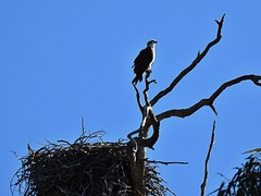 Another nest another Osprey (AdamsWife) Tags: nest osprey