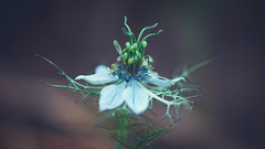 Nigella (michel1276) Tags: nigella jungferimgrünen flower flowers flora pflanze blume makro macro olympus zuikomacro9020 kingzuiko