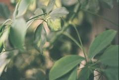 Something green today.. (nanka_bagaturia) Tags: nikon 35mm fuji fuji200 nikonf2 filmcamera analog analogphotography filmisnotdead green