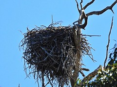 Another nest another Osprey (AdamsWife) Tags: osprey nest
