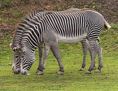 ywp zebras looking sharp (Ian Unwin) Tags: do copy or use