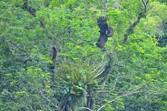 Indian Black Eagle (mattlaiphotos) Tags: raptor eagle indianblackeagle nature wildlife avifauna taiwan birdwatch forest fern plant