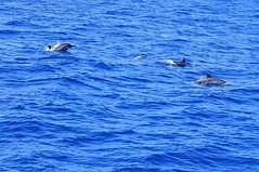 Dolphins (mattlaiphotos) Tags: dolphin marine marinelife nature wildlife sea ocean pacificocean taiwan 海豚