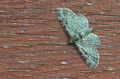 Õunapuu-kääbusvaksik; Pasiphila rectangulata; Green Pug (urmas ojango) Tags: lepidoptera liblikalised insecta putukad insects moth vaksiklased geometridae nationalmothweek õunapuukääbusvaksik pasiphilarectangulata greenpug