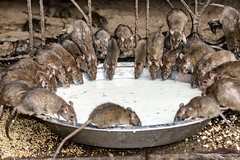 INDIA9059 (Glenn Losack M.D.) Tags: rats animals karni mata temple deshnoke india vermin rajasthan streetphotographer streetphotography photojournalism