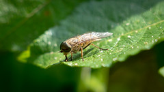 Horse Fly - Macro (David Lea Kenney) Tags: horsefly fly insect insects animal explore animals macro macrophotography closeup leaf green nature