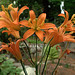 H20140710-3007—Lilium parvum—RPBG--DxO