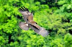 Indian Black Eagle (mattlaiphotos) Tags: eagle raptor nature wildlife avifauna indianblackeagle forest taiwan birdwatch forestcanopy flight soar fly