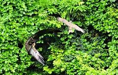 Oriental Honey-buzzard chased by Indian Black Eagle (mattlaiphotos) Tags: eagle orientalhoneybuzzard buzzard raptor indianblackeagle forest forestcanopy wildlife nature avifauna