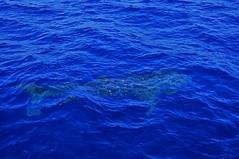 Whale shark (mattlaiphotos) Tags: shark whaleshark wildlife nature ocean sea taiwan 鯨鯊 blue pacificocean marine marinelife biggest largest