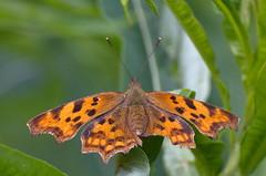 Väike-kärbtiib; Polygonia c-album; Comma (urmas ojango) Tags: lepidoptera liblikalised insecta putukad insects butterfly koerlibliklased nymphalidae väikekärbtiib polygoniacalbum comma