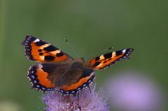 Koerliblikas; Aglais urticae; Small Tortoiseshell (urmas ojango) Tags: butterfly insects lepidoptera aglaisurticae smalltortoiseshell insecta nymphalidae putukad koerliblikas liblikalised koerlibliklased