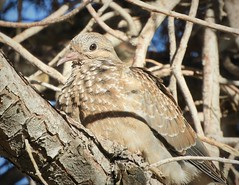 Life Bird:  Eared Dove (juvenile) (Ruby 2417) Tags: eared dove bird wildlife nature zenaida auriculata life lifer toconao atacama desert chile