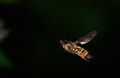 Marmalade Fly (Chalto!) Tags: insect fly hoverfly marmaladefly episyrphusbalteatus newforest hampshire dennywood
