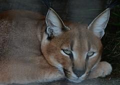 <> Young Caracal Reposed <> (Wolverine09J ~ 1.8 Million Views) Tags: wildcat caracal exoticspecies wildlifepark reposed closeup nature mammal expressive felidae predator engaging