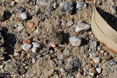 TOAD BUG 1 (k.nanney) Tags: toadbug gelastocoris gelastocoridae hemiptera herteroptera bug truebugs insect aquaticinsects texasinsects cripticcoloration camouflage northcentraltexas villagecreekdryingbeds arlington texas tx tarrantcounty nikon d7500 afsvrmicronikkor105mmf28gifed nikkor105mmmicro 105mm kennethnanney kennanney nanney