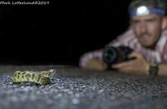 Black-tailed rattlesnake (Lotterhand) Tags: arizona black tailed rattlesnake herping desert reptiles