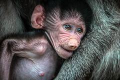 Baboon Babe (helenehoffman) Tags: mother africarocks sandiegozoo conservationstatusleastconcern monkey primate mammal baby ethiopianhighlands motherandchild papiohamadryas baboon oldworldmonkey hamadryasbaboon animal