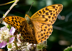 Silver-washed Fritillary - female (Chalto!) Tags: silverwashedfritillary insect butterfly parkhillenclosure newforest hampshire parkhillinclosure