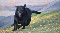 """FULL TILT"", ACA PHOTO (alexanderrmarkovic) Tags: blacklab retriever jazz acaphoto pet dog"