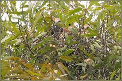 Three Little Chicks 4240 (maguire33@verizon.net) Tags: elanusleucurus pradoregionalpark whitetailedkite bird birdofprey chick kite nest nesting raptor wildlife