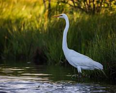 Great Egret (Anthony M Cedrone) Tags: anthonycedrone greategret egret bird whitebird longneck marsh fishing refuge summer wetlands