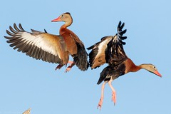 Black-bellied whistling ducks. (zachzombiesphotos) Tags: