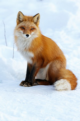 Red Fox Posing Pretty (AlaskaFreezeFrame) Tags: fox redfox vixen cute nature wildlife outdoors canon telephoto alaska alaskafreezeframe animals mammals carnivore predator zorro sly snow frost winter beautiful gorgeous posing closeup portrait 70200mm anchorage