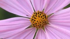 Cosmos - In Close (Paul den Ouden) Tags: cosmos flowers floral flora macro lavender powellriver bc