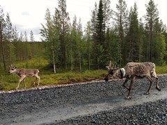 Reindeers in Lapland (leobos) Tags: animal animals reindeer lapland finland nature