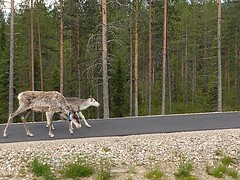 Reindeers in Lapland (leobos) Tags: reindeer lapland finland animal nature travel