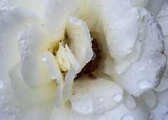 Rainy day rose (bfluegie) Tags: rose lakesidepark rain flower white