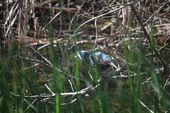 IMG_4777 (avsfan1321) Tags: florida usa unitedstates unitedstatesofamerica everglades nationalpark evergladesnationalpark findyourpark anhingatrail wetland bird heron greenheron
