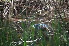 IMG_4776 (avsfan1321) Tags: florida usa unitedstates unitedstatesofamerica everglades nationalpark evergladesnationalpark findyourpark anhingatrail wetland bird heron greenheron