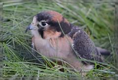 ^*^ Saker Falcon Moment ^*^ (Wolverine09J ~ 1.9 Million Views) Tags: sakerfalcon raptor birdofprey avianwildlife resting grassyhabitat nature exoticspecies niceasitgets~level1 thebeautyofnature magiceye heartawards