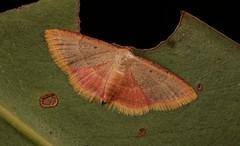 Geometrid Moth (Sterrhinae, Geometridae) (John Horstman (itchydogimages, SINOBUG)) Tags: china macro canon insect moth lepidoptera geometridae yunnan entomology sterrhinae itchydogimages sinobug topf25 explore topf50 fb