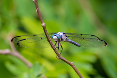 06092019-252-2 (Bill Friggle Photography) Tags: dragonfly bug insect