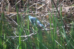 IMG_4780 (avsfan1321) Tags: florida usa unitedstates unitedstatesofamerica everglades nationalpark evergladesnationalpark findyourpark anhingatrail wetland bird heron greenheron