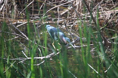 IMG_4779 (avsfan1321) Tags: florida usa unitedstates unitedstatesofamerica everglades nationalpark evergladesnationalpark findyourpark anhingatrail wetland bird heron greenheron